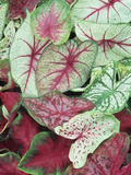 Caladium Leaves Showing Variegation and Venation Lámina fotográfica por David Cavagnaro
