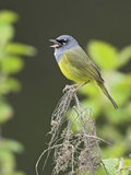 Macgillivray's Warbler (Oporornis Tolmiei) Singing on a Branch, Victoria, British Columbia, Canada Photographic Print by Glenn Bartley