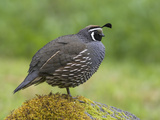 California Quail (Callipepla Californica) Perched on a Mossy Rock in Victoria, British Columbia Photographie par Glenn Bartley