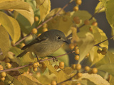Ruby-Crowned Kinglet (Regulus Calendula) Perched in Fall-Colored Foliage, Toronto, Ontario, Canada Photographie par Glenn Bartley