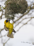 Lesser Masked-Weaver Male at the Nest (Ploceus Intermedius), South Africa Photographic Print by John Abbott
