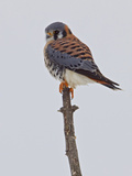American Kestrel (Falco Sparverius) Perched on a Branch, Ontario, Canada Photographic Print by Glenn Bartley