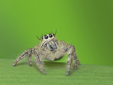 Jumping Spider Photographic Print by Tan Chuan-Yean