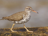 Spotted Sandpiper (Actitis Macularia) Walking on a Rock Near the Coast of Ecuador Photographic Print by Glenn Bartley