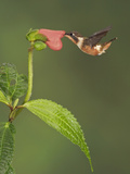 Purple-Throated Woodstar Hummingbird (Calliphlox Mitchellii) Hovering and Nectaring Photographic Print by Glenn Bartley