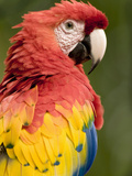 Scarlet Macaw (Ara Macao), Costa Rica Photographic Print by Gregory Basco