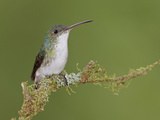 Andean Emerald Hummingbird (Amazilia Franciae) Perched on a Branch, Southwest Ecuador Photographic Print by Glenn Bartley