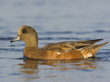 American Wigeon Female (Anas Americana) Swimming on a Pond in Victoria, British Columbia, Canada Photographic Print by Glenn Bartley