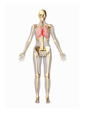 Biomedical Illustration of a Man in Frontal View Showing the Respiratory and Skeletal Systems Giclee Print by Scott Camazine
