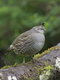 California Quail (Callipepla Californica) Perched on a Mossy Tree Branch in Victoria Photographie par Glenn Bartley