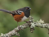 Spotted Towhee (Pipilo Maculatus) Perched on a Branch, Victoria, BC, Canada Photographic Print by Glenn Bartley