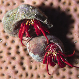 Red Reef Hermit Crabs in their Shell Homes (Paguristes Cadenati), Bonaire, Netherlands Antilles Photographic Print by Hal Beral