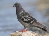 Rock Dove or Domestic Pigeon (Columba Livia), Victoria, British Columbia, Canada Photographic Print by Glenn Bartley