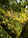 Bromeliads and Other Epiphytes on a Rainforest Tree Trunk, Osa Peninsula, Costa Rica Photographie par Gregory Basco