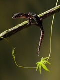 Central American Banded Gecko (Coleonyx Mitratus), Costa Rica, Captive Photographic Print by Gregory Basco
