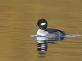 Bufflehead Duckling (Bucephala Albeola) Swimming on a Pond, Victoria, BC, Canada Photographic Print by Glenn Bartley