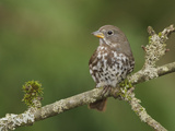 Fox Sparrow (Passerella Iliaca) Perched on a Branch, Victoria, BC, Canada Photographic Print by Glenn Bartley