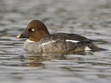 Common Goldeneye (Bucephala Clangula) Swimming in a Lagoon in Victoria, British Columbia, Canada Photographic Print by Glenn Bartley