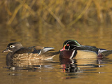 Wood Duck Pair (Aix Sponsa) Swimming on a Pond, North America Photographic Print by Glenn Bartley