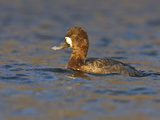 Lesser Scaup (Aythya Affinis) Swimming in a Lagoon, Victoria, BC, Canada Photographic Print by Glenn Bartley