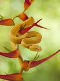 Eyelash Pit Viper (Bothriechis Schlegelii), Costa Rica Photographic Print by Gregory Basco