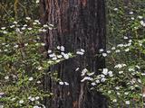 Pacific Dogwood (Cornus Nuttallii) Blooming in the Cascade Range, Oregon, USA Photographic Print by Sean Bagshaw