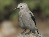 Clark's Nutcracker (Nucifraga Columbiana), Canadian Rockies Photographic Print by Glenn Bartley