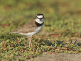 Collared Plover (Charadrius Collaris) on the Beach on the Coast of Ecuador Photographic Print by Glenn Bartley