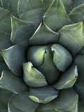 Desert Agave (Agave Deserti) or Century Plant, Anza Borrego Desert State Park, California, USA Photographic Print by David Cobb