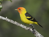 Western Tanager (Piranga Ludoviciana) Perched on a Branch, Victoria, British Columbia, Canada Photographic Print by Glenn Bartley
