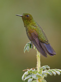 Viridian Metaltail (Metallura Williami) Perched on a Plant, Papallacta Pass, Ecuador Photographic Print by Glenn Bartley