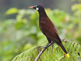 Montezuma Oropendola, Costa Rica Photographic Print by Glenn Bartley