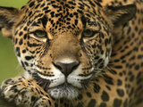 Jaguar (Panthera Onca), Costa Rica Photographic Print by Gregory Basco