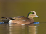 American Wigeon (Anas Americana) Swimming on a Pond in Victoria, British Columbia, Canada Photographic Print by Glenn Bartley