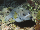 Blackspotted Puffer (Arothron Nigropunctatus), Blackspotted Puffer Photographic Print by Hal Beral