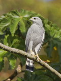Gray Hawk (Buteo Nitidus) Perched on a Branch Near the Coast of Ecuador Photographic Print by Glenn Bartley