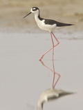 Black-Necked Stilt (Himantopus Mexicanus) on the Beach on the Coast of Ecuador Fotografie-Druck von Glenn Bartley