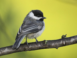 Black-Capped Chickadee (Poecile Atricapillus) Perched on a Branch, Ontario Canada Photographie par Glenn Bartley