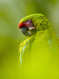 Great Green Macaw (Ara Ambiguus) Photographic Print by Gregory Basco