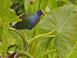 Purple Gallinule (Porphyrula Martinica) Perched on an Aquatic Plant, Napo River, Amazonian Ecuador Photographic Print by Glenn Bartley