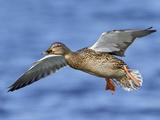 Female Mallard Duck (Anas Platyrhynchos) Flying, Victoria, BC, Canada Photographic Print by Glenn Bartley