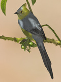 Long-Tailed Silky Flycatcher, Costa Rica Photographic Print by Glenn Bartley