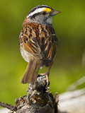 Male White-Throated Sparrow (Zonotrichia Albicollis), New Hampshire, USA Photographic Print by John Abbott