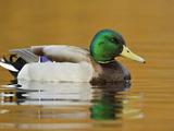 Male Mallard Duck (Anas Platyrhynchos) Swimming on a Pond, Victoria, BC, Canada Photographic Print by Glenn Bartley
