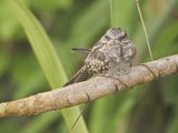 Ladder-Tailed Nightjar (Hydropsalis Climacocerca) Perched on a Branch Photographic Print by Glenn Bartley