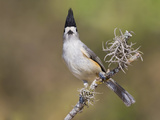 Black-Crested Titmouse (Baeolophus Atricristatus) Perhced on a Branch in South Texas, USA Photographic Print by Glenn Bartley