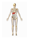 Biomedical Illustration of a Man in Frontal View Showing the Skeletal and Digestive System Giclee Print by Scott Camazine