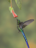 Violet-Tailed Sylph (Aglaiocercus Coelestis) Feeding at a Flower, Mindo Loma Reserve, Ecuador Photographic Print by Glenn Bartley