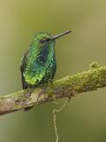 Western Emerald Hummingbird (Chlorostilbon Melanorhyncus) Perched on a Branch Photographic Print by Glenn Bartley