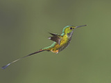 Booted Racket-Tail Hummingbird (Ocreatus Underwoodii) Flying at the Wildsumaco Reserve Photographic Print by Glenn Bartley